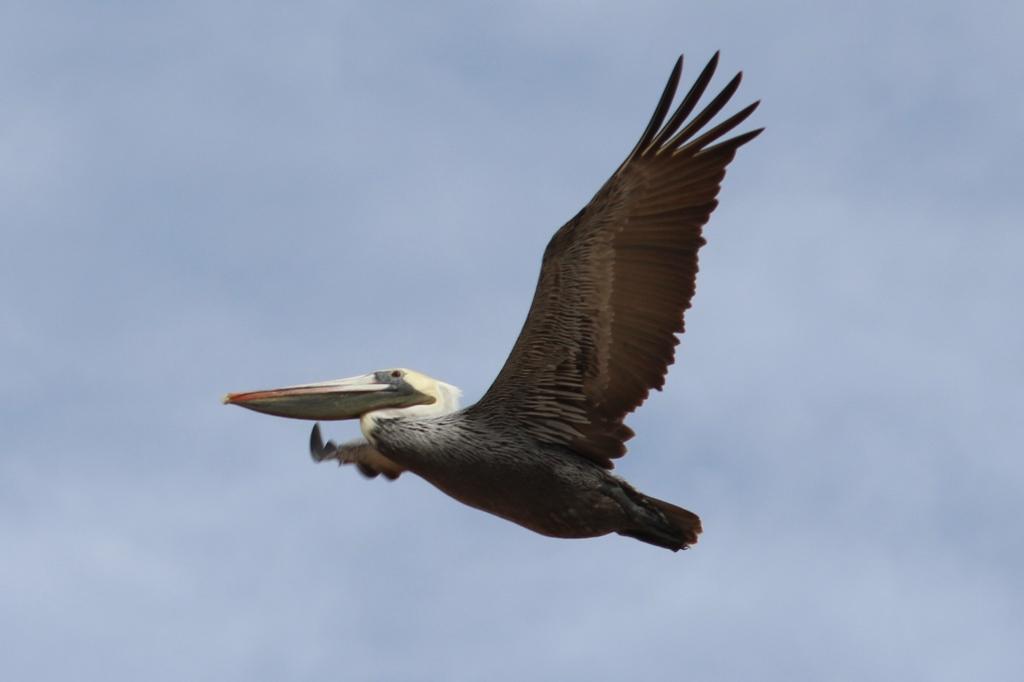 Baja California Sur Brown Pelican