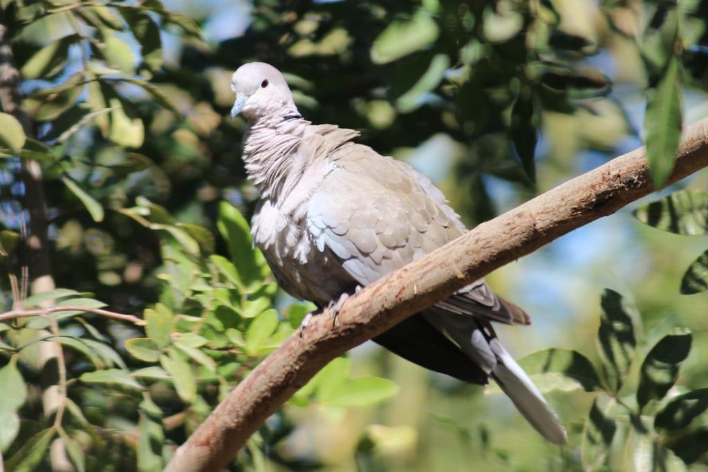 Baja California Sur Eurasian Collared Dove