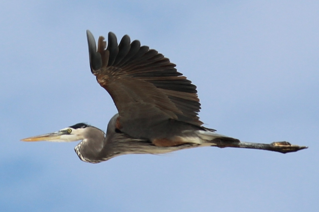 Great blue heron in Baja California Sur