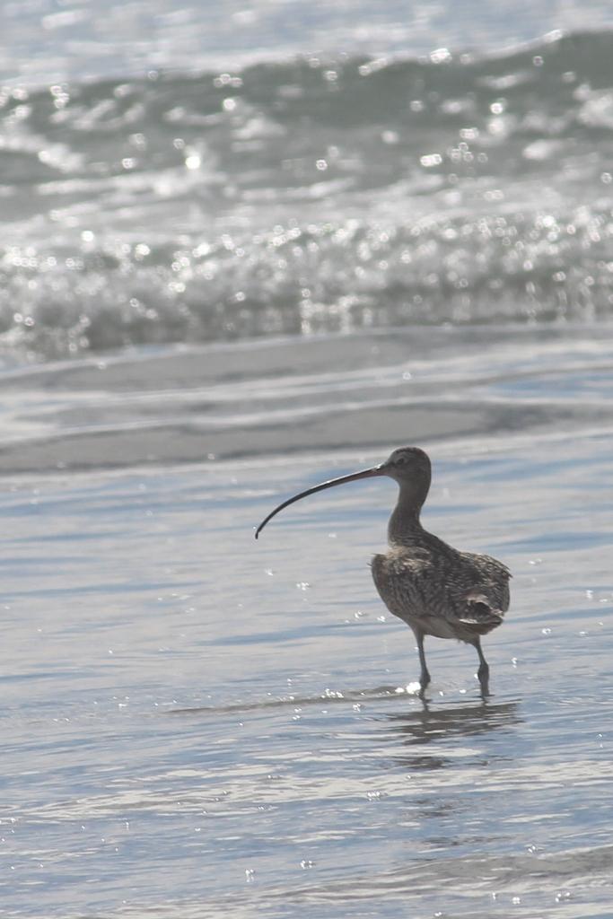 Baja California Sur Long-billed Curlew