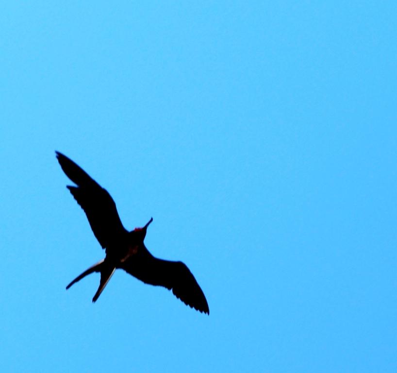 Baja California Sur Magnificent Frigatebird