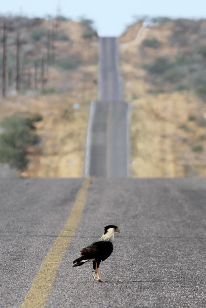 Baja California Sur Northern Caracara