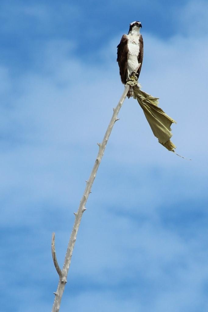 Baja California Sur Osprey