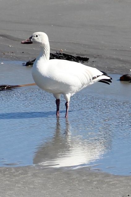 Baja California Sur Snow Goose