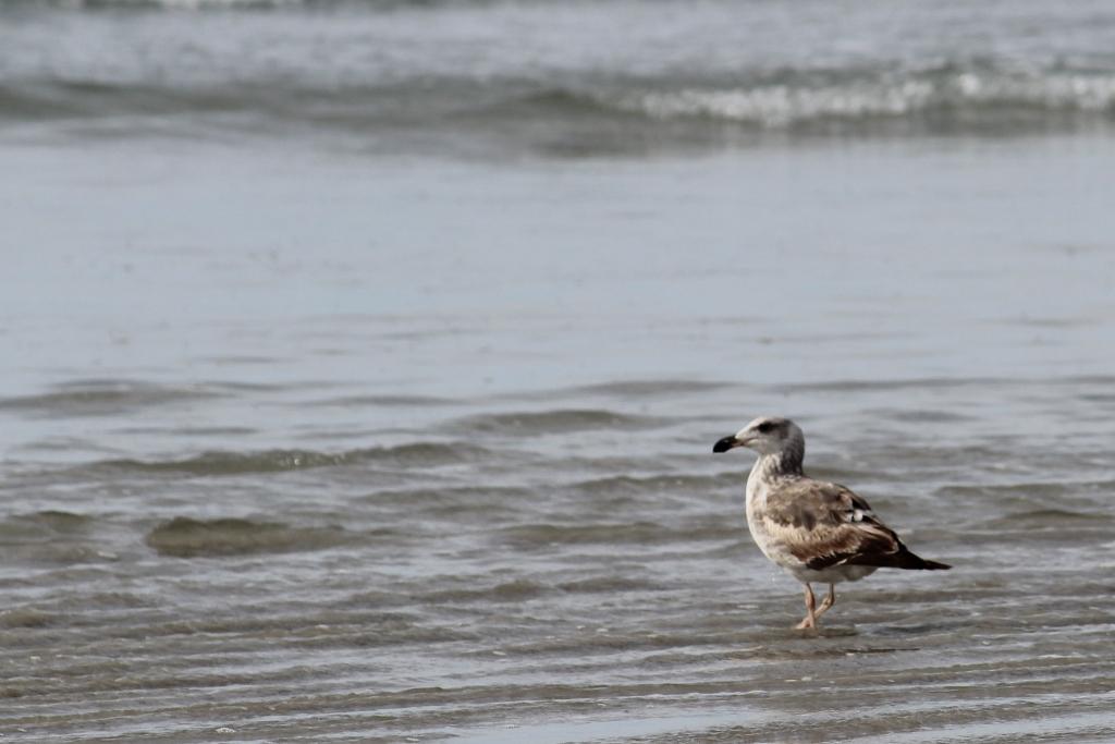 Baja California Sur Western Gull
