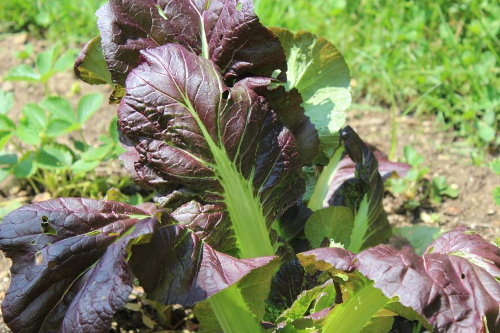 Multi-colored leafy greens!