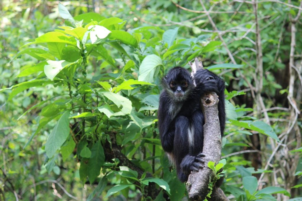 Spider monkey at Reserva Natural Atitlán near Panajachel, Guatemala