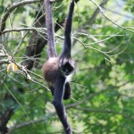 Spider Monkey at Reserva Natural Atitlán in near Panajachel in Guatemala
