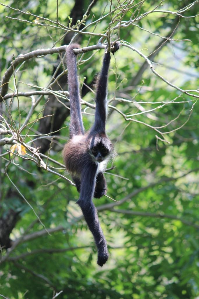 Spider Monkey at Reserva Natural Atitlán in near Panajachel in Guatemala