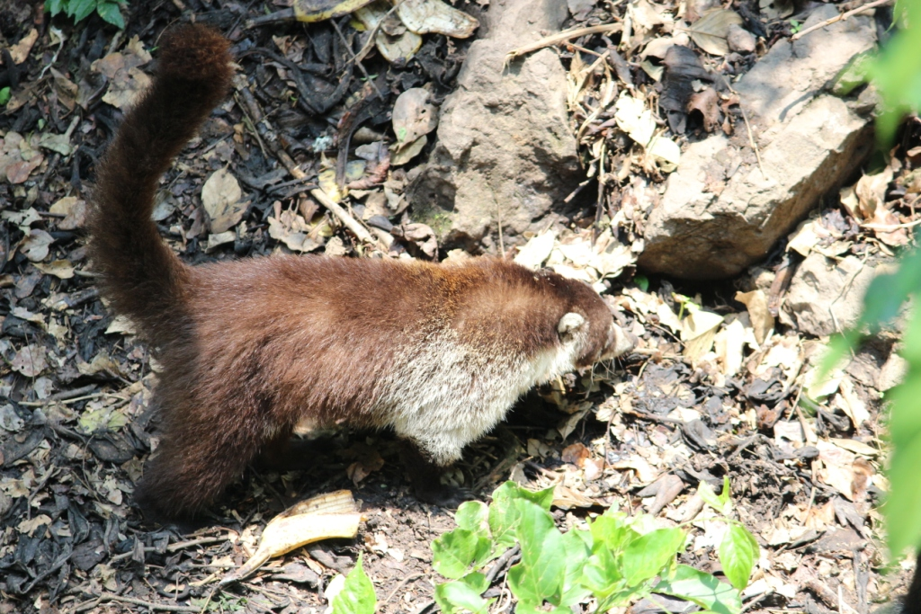 Coati at Reserva Natural Atitlán near Panajachel, Guatemala