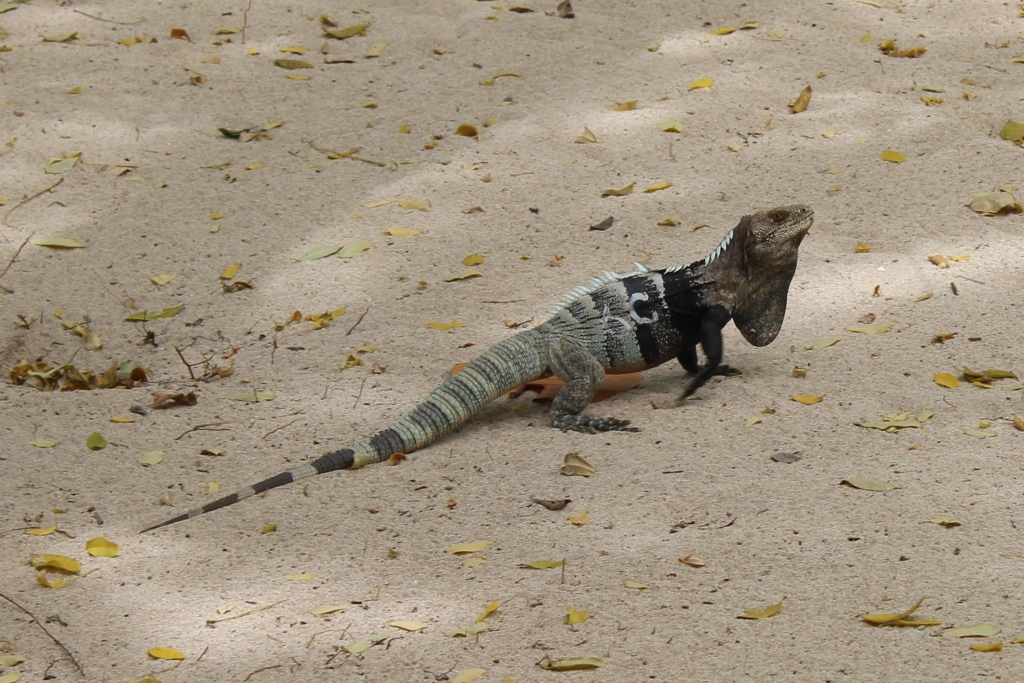 Iguana on Cayo Grande in Cayos Cochinos, Honduras