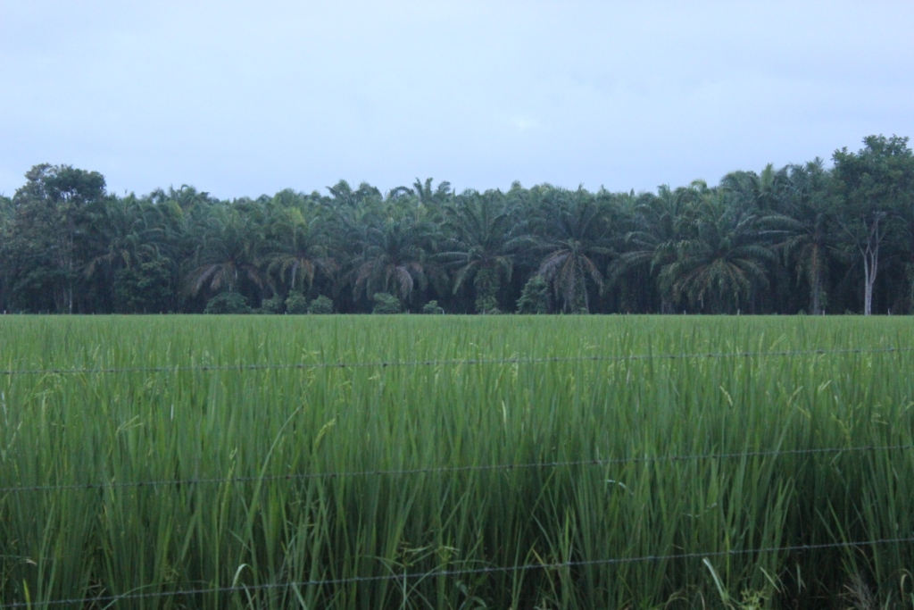 Palms Beyond Farmland