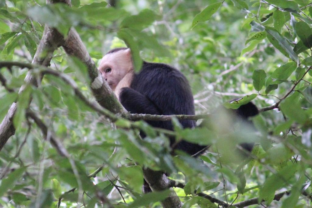 White-headed Capuchin Monkey in Zancudo, Costa Rica