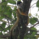 Central American Squirrel Monkey in Zancudo Costa Rica