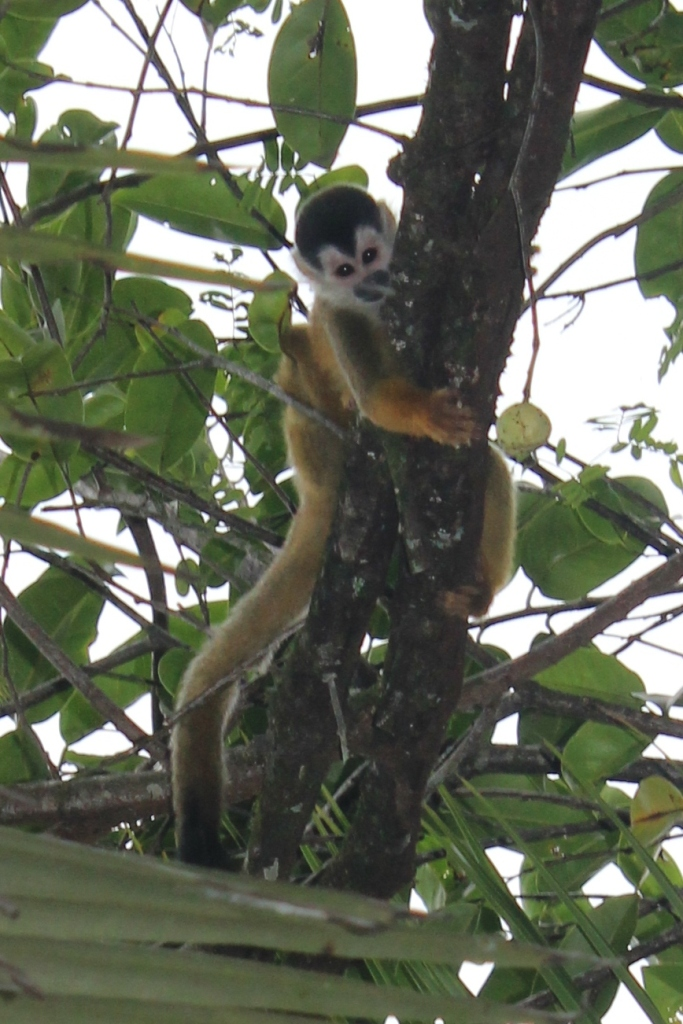Central American Squirrel Monkey in Zancudo Costa Rica