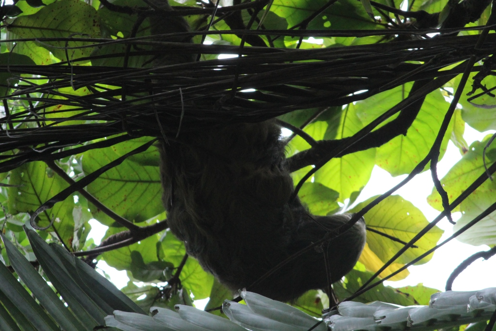 Sloth in Zancudo, Costa Rica