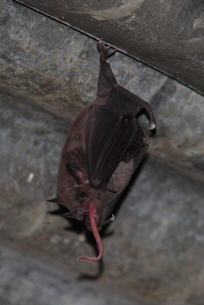 Creepy Bat Tongue