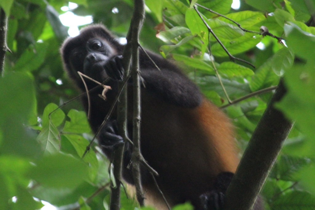 Mantled Howler Monkey in Zancudo, Costa Rica