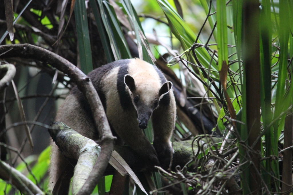 Anteater in Soberanía National Park, Panama