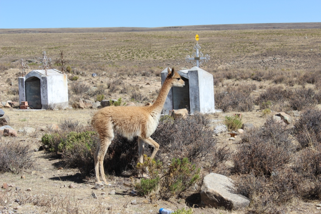 Vicuña with Roadside Shrines