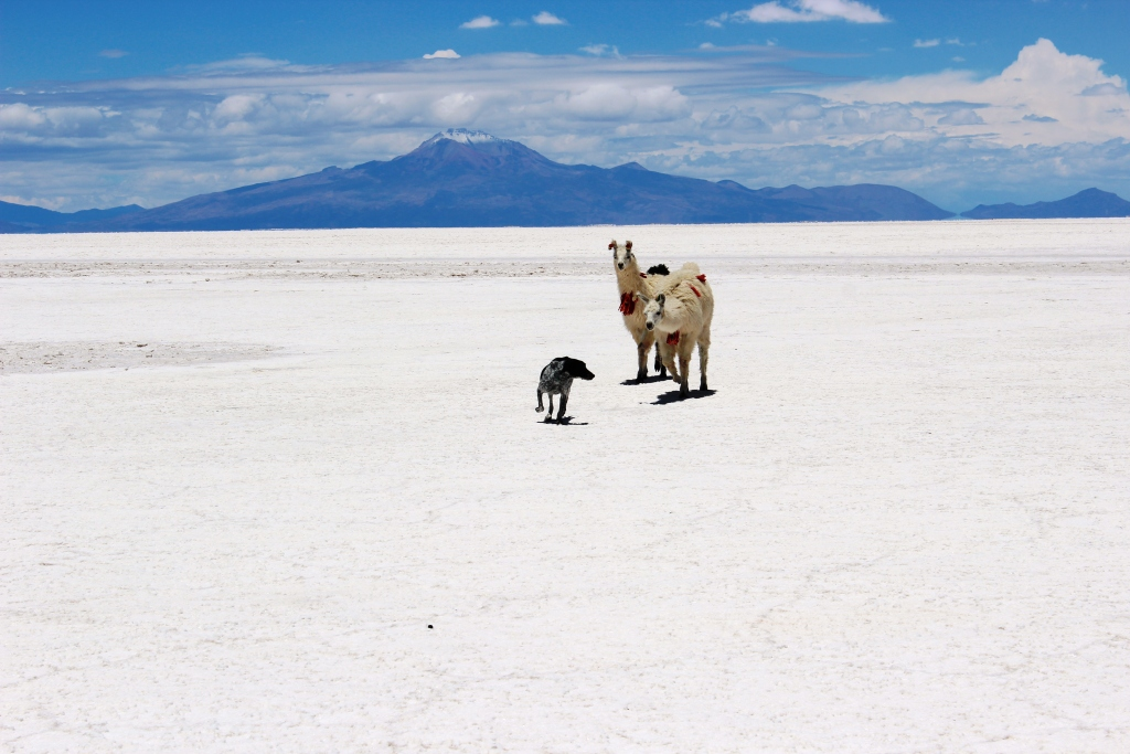 Chased by Llamas at Salar de Uyuni in Bolivia