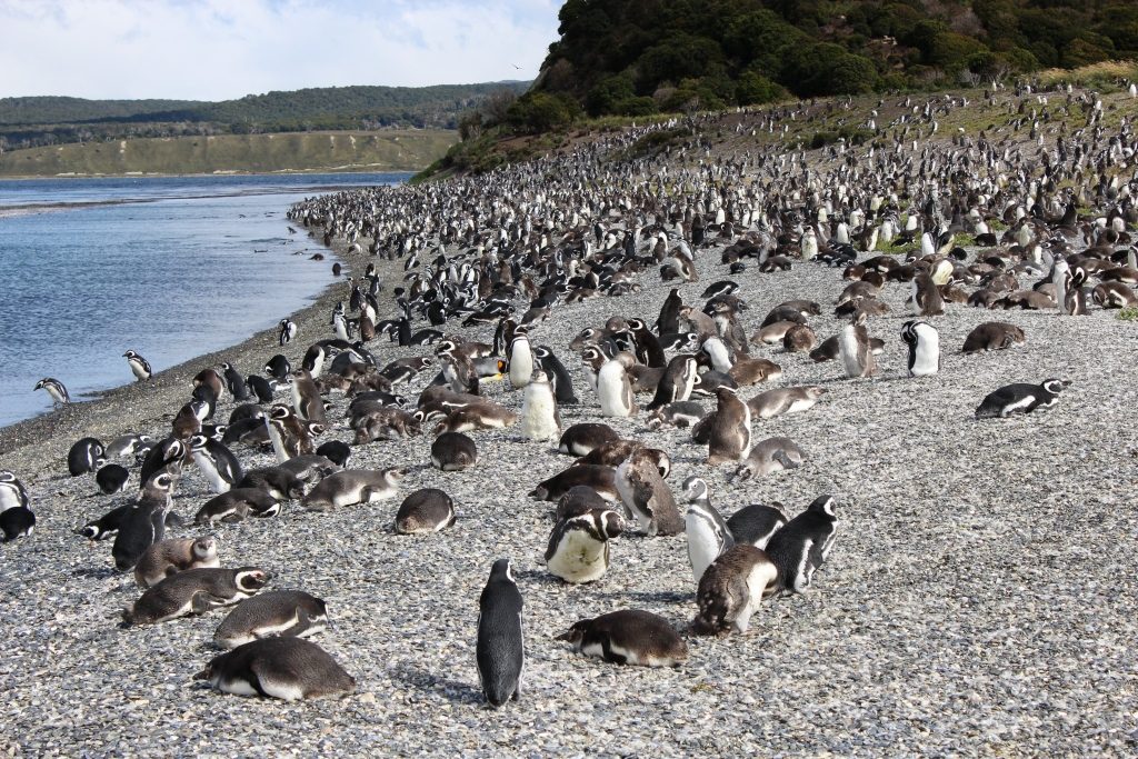 Penguins on Isla Martillo