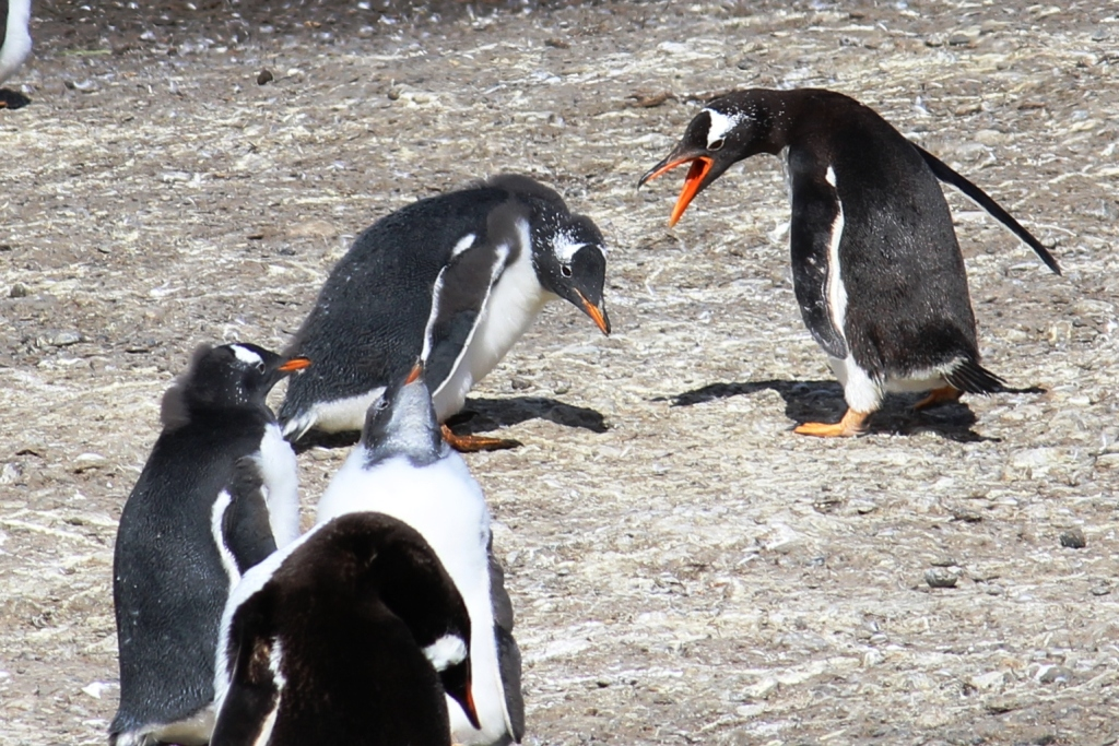 Mad Penguin, Sad Penguin, and Crowd Penguins