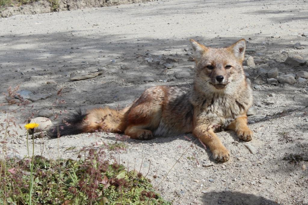 Patagonian fox in Tierra del Fuego National Park